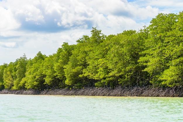Manfaat Pohon Bakau Bagi Kehidupan Manusia   WeCare.id
