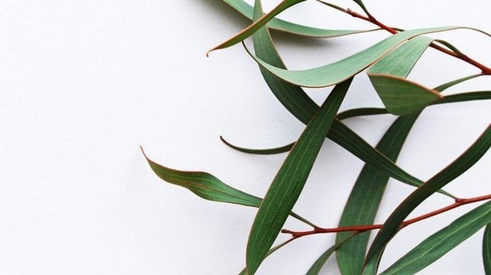 Eucalyptus Menyembuhkan COVID 19, Mitos atau Fakta? | WeCare.id